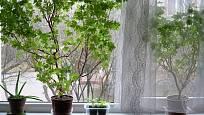 Přezimování muškátů na okenním parapetu.