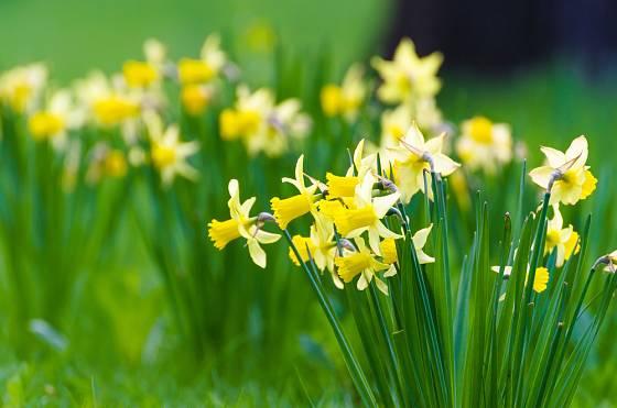 Narcisy můžete nechat zplanět na louce, na jaře se postarají o pohádkovou podívanou