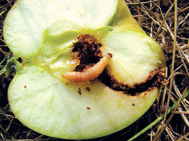 obaleč jablečný (Cydia pomonella)
