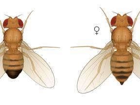 Samec a samice octomilky se ve vzhledu liší