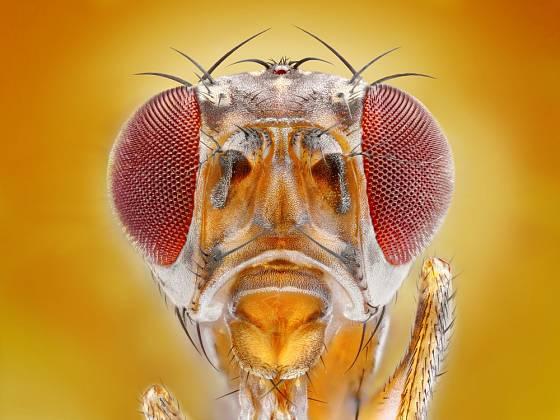 Pohled z očí do očí. Octomilka neškodí jen našemu jídlu, může přenášet bakterie a plísně.