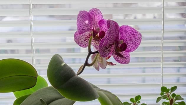 Můrovec (Phalaenopsis) můžeme pěstovat i v domácích podmínkách.