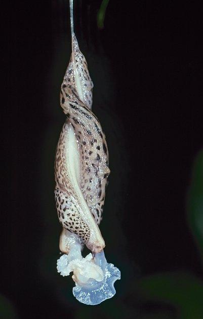 Páření slimáků největších nepřestává vědce udivovat.