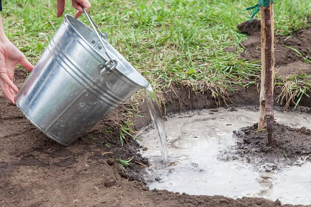 Vysazený stromek důkladně zalijeme, aby zemina přilnula ke kořenům