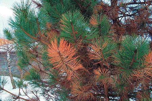 borovice napadená sypavkou borovou