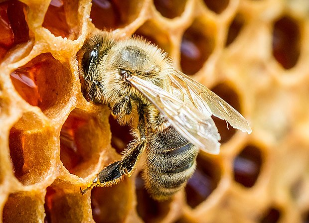 Včela medonosná ukládá nektar do pláství