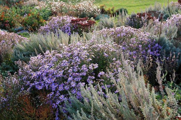 Svatolína a kvetoucí astra křovitá ve směsi Stříbrná vonička, Dendrologická zahrada Průhonice