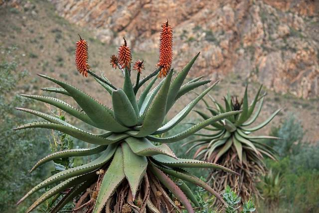 aloe kapská (Aloe ferox)