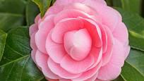 Kamélie - růžový květ.