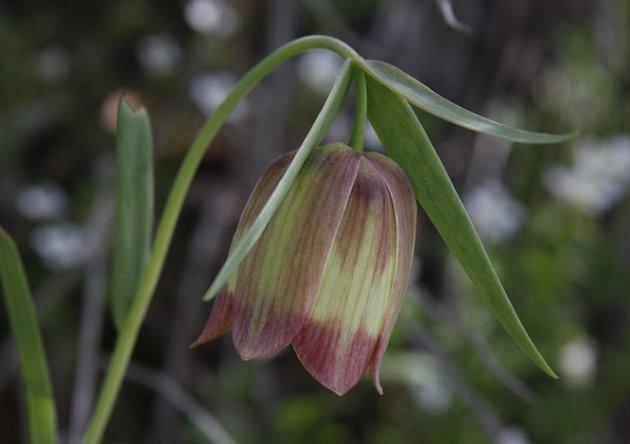 řebšík pontský (Fritillaria pontica)