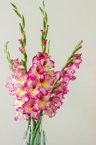 Pro postupné rozkvétání patří gladioly k oblíbeným řezaným květinám.