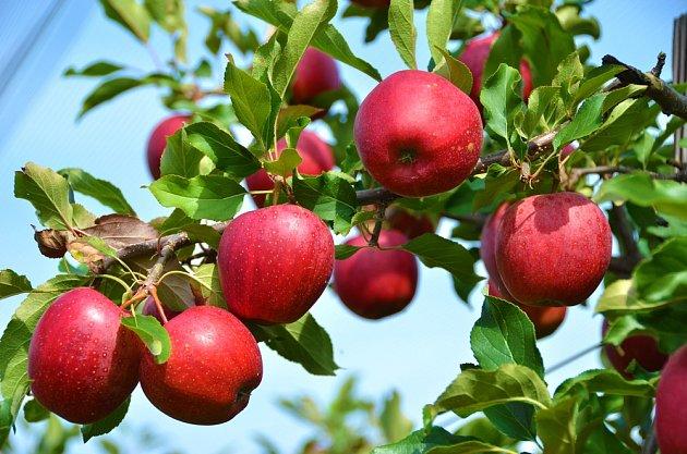 Aby byly jabloně zdravé a měli jste bohatou sklizeň chutných plodů, je nutné stromu věnovat čas