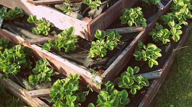 Jahodová pyramida umožní sklízet jahody čisté a nezablácené.