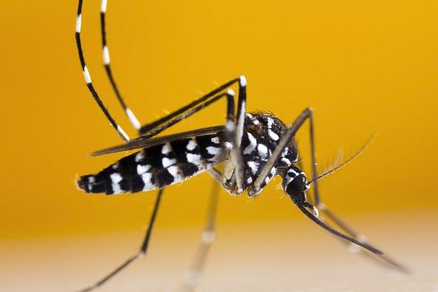 komar tygrovany (Aedes albopictus)