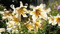 OT hybridy jsou odolné, vysoké a atraktivní lilie