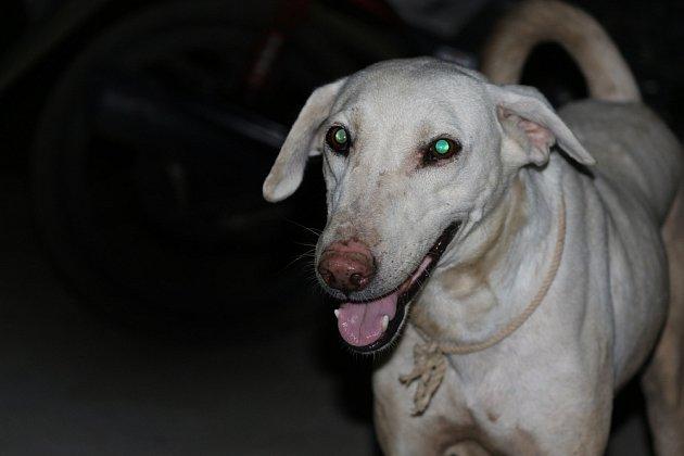 V noci mohou psa prozradit svítícé oči.