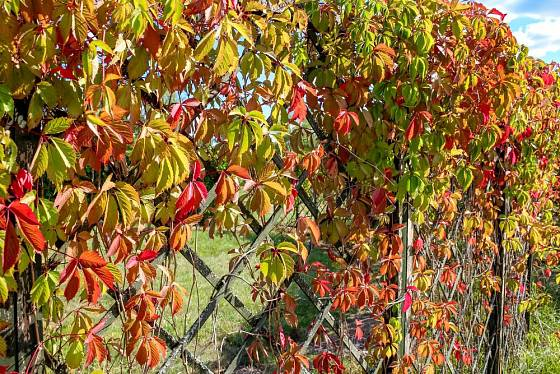 Přísavník promění obyčejný plot v živý snadno a rychle