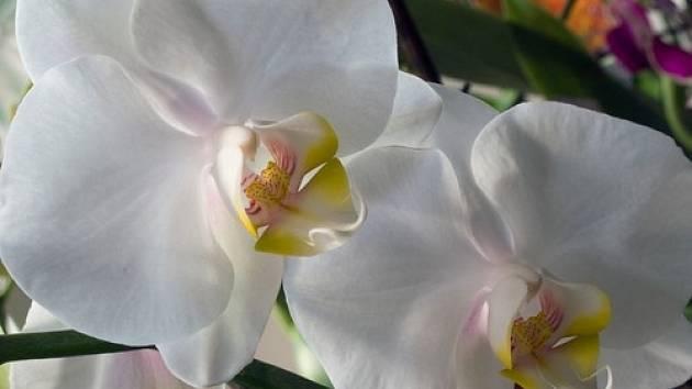 Až si přinesete orchidej domů, dopřejte jí určitě místo bez přímého slunce.
