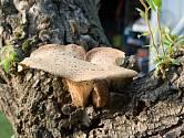 V principu dřevokazné houby enzymaticky rozkládají odumřelé kmeny, pařezy a větve.