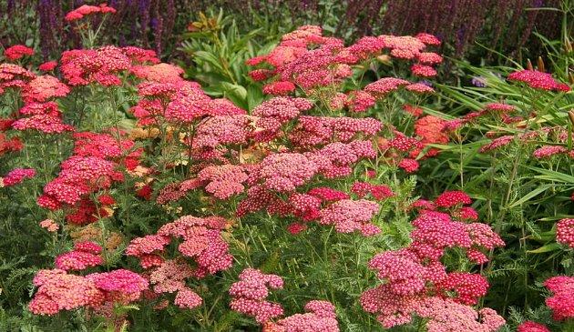 Řebříček obecný můžete pěstovat v mnoh sytých, hřejivých odstínech