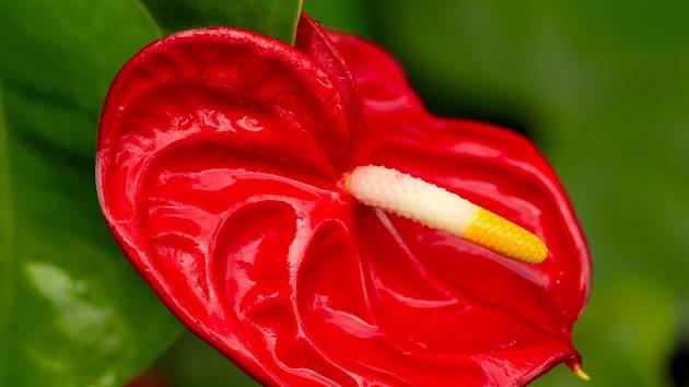 Atraktivně zbarvený toulec toulitky (Anthurium scherzerianum).