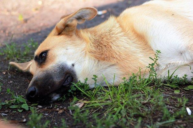 Velká a obří plemena psů trpí torzí žaludku častěji.