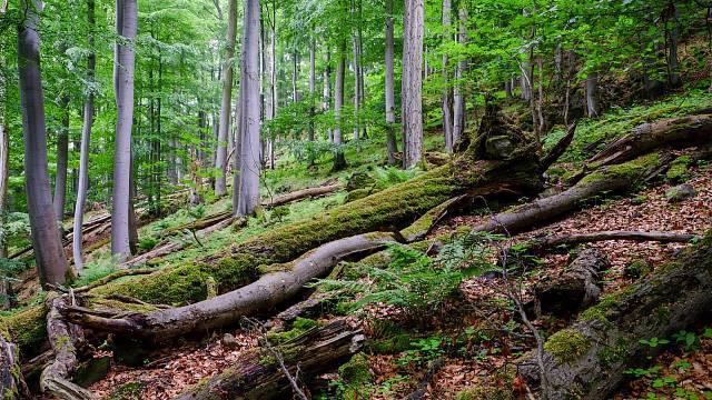Přirozený bukový les