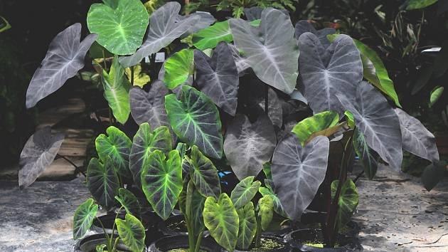 Colocasia Black Magic – tato pokojovka pochází z Asie