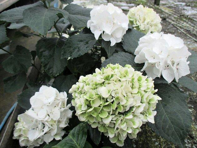 Hortenzie - bílé květy.