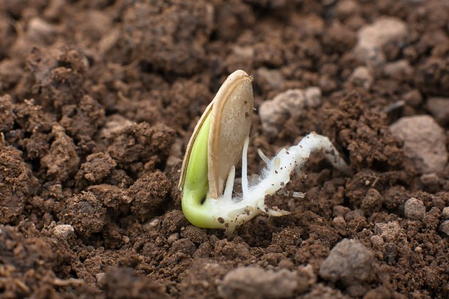Cukety a dýně v květnu ochotně klíčí a rostou