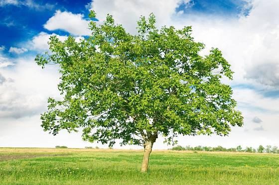 Ořešák královský je strom užitečný i krásný