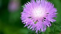 Květenství parchy saflorové zvané maralí kořen