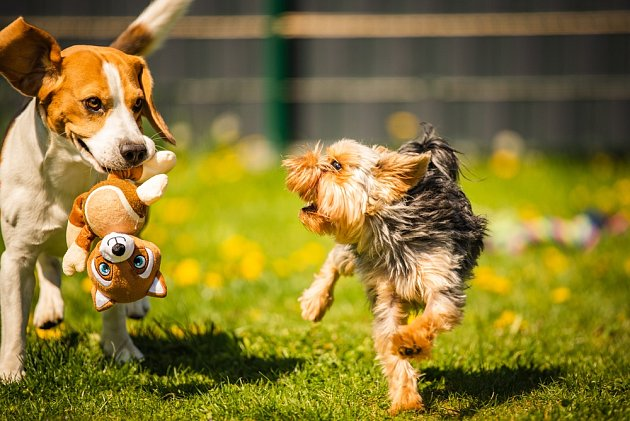 Bíglové jsou veselí, hraví a čilí psi i v dospělém věku.