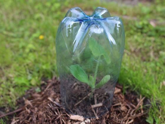Plastové lahve chrání sazeničky pře mrazíky