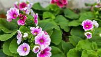 Prvosenka nálevkovitá (Primula obconica)
