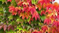 Barevná podzimní hra přísavníku trojcípého