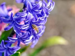 Krásné a voňavé hyacinty jsou chloubou zahrady