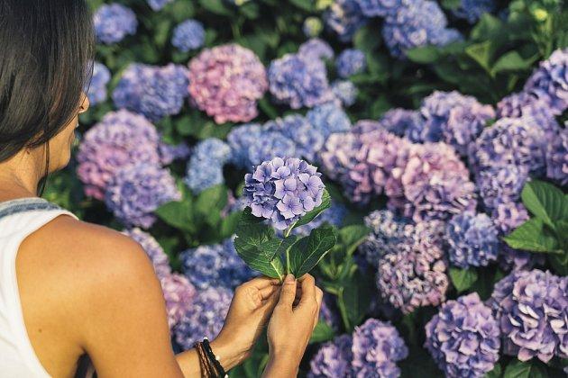 Pro hortenzii nachystejte na zahradě světlé místo, ale vyhněte se přímému slunci po celý den.