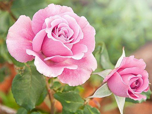 Velkokvěté záhonové růže přitahují pohledy