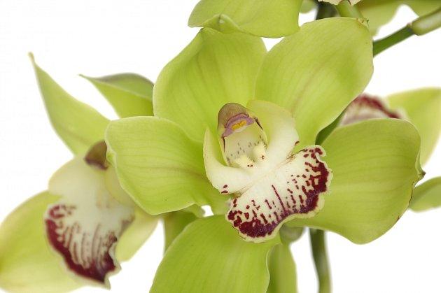 Orchidej vytovřená v Čínské laboratoři je jednou z nejdražších rostlin na světě.