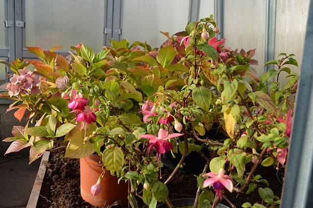 Skleník může být i bezvadným dočasným útočištěm náročnějších rostlin.