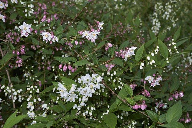 Trojpuk štíhlý (Deutzia gracilis)