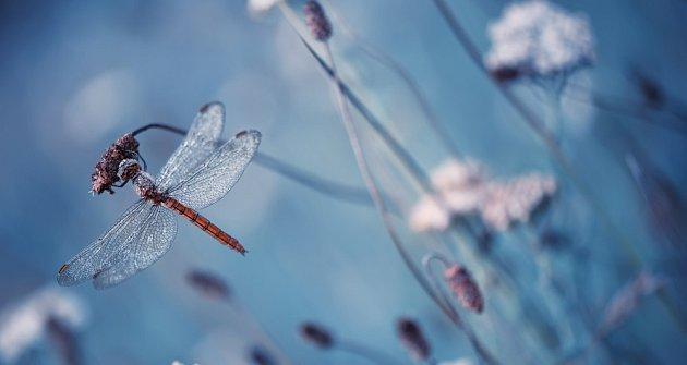Vážky jsou nejkrásnější ozdobou zahradního jezírka a květin kolem něj