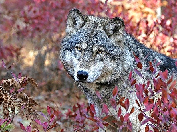 Borůvkami si stravu zpestřují i předci psů, vlci