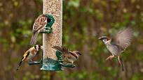 Vrabci a stehlík hodují na samonásypném krmítku