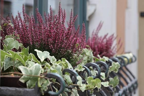 Vřesovce můžeme pěstovat i za oknem či na balkoně.