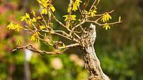 Zlatice prostřední 'Spectabilis' tvarovaná jako bonsaj.