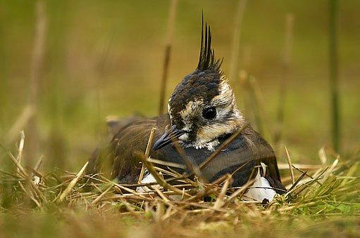 čejka chocholatá (Vanellus vanellus) na hnízdě