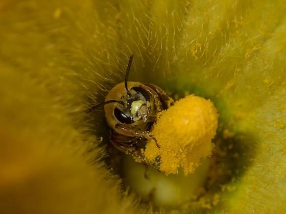 Bez opylení cukety plodit nebudou, neubližujme proto včelám pesticidy