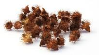 Plodem řepíku jsou nažky, které dozrávají v háčky pokryté šešuli. Ta se ráda zachytává srsti i oděvu